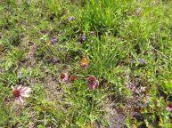 Butterfly on Topeka purple coneflower (Echinacea atrorubens)