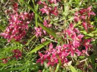 Ratany (Krameria lanceolata)