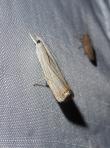 Graceful Grass-Veneer Moth by Katy Emde