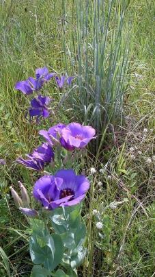 Sam Houston National Forest, Blackland Prairie July 12 - Bluebells and Little Bluestem 140712