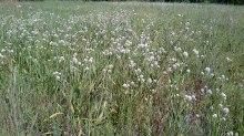 Sam Houston National Forest - Blackland Prairie Rattlesnake Master July 12 Compartment 2. 140712