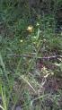Sam Houston National Forest - Blackland Prairie Xyris July 12. 140712
