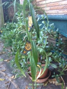 First 2 Monarchs to emerge by Janis Terry.