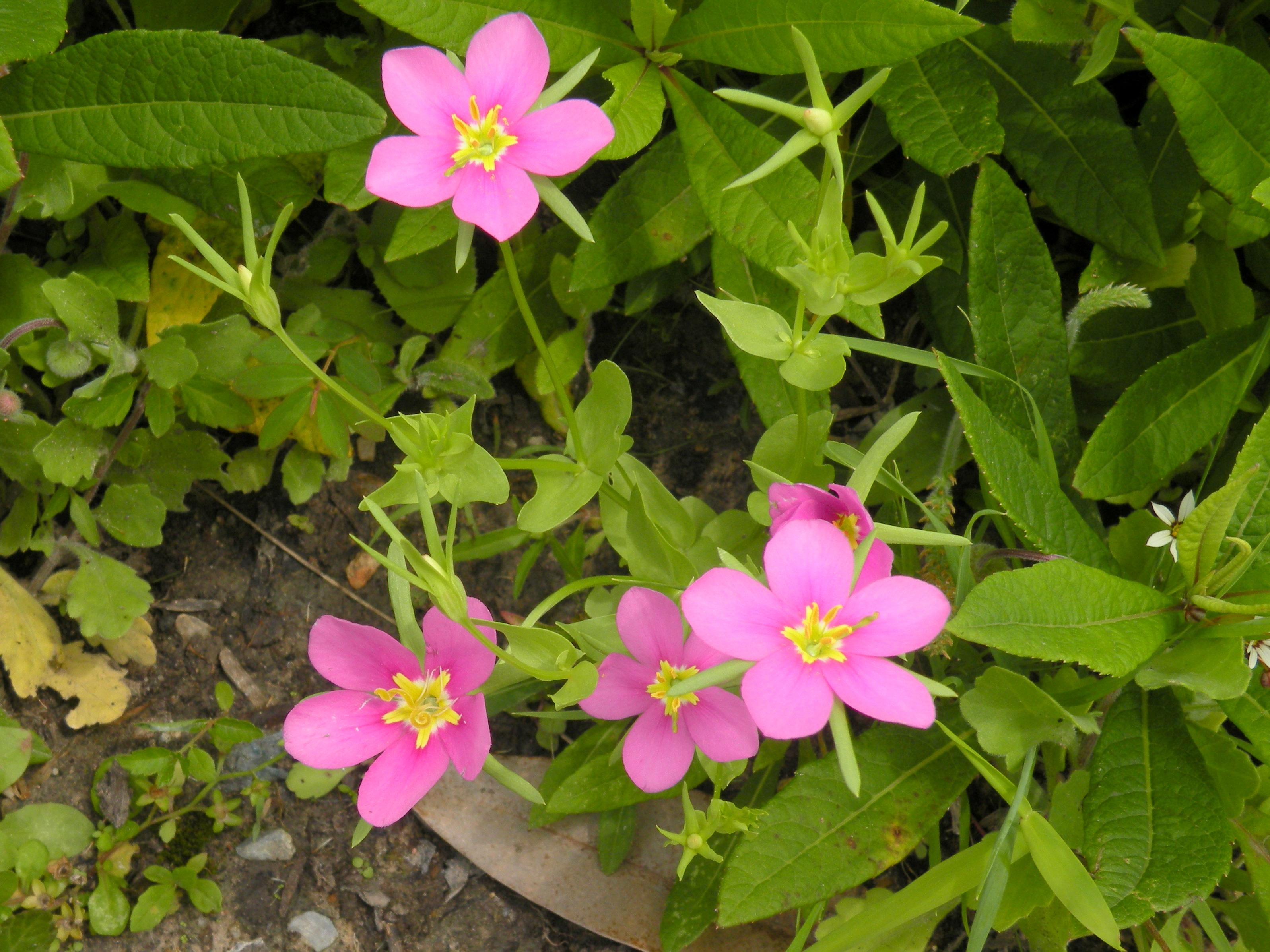 Meadow Pink Sabatia Campestris Mandell Garden 24apr16 Hnpat