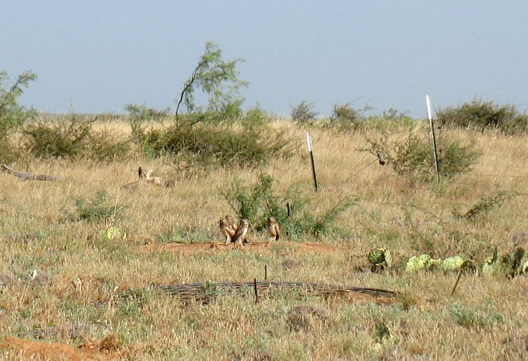 Four Burrowing Owls