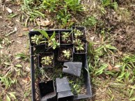 Bluebells seedlings rescued and kept and replanted by Ahlene Shong